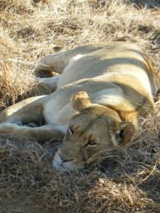 allies lioness