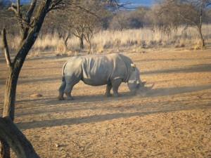 allie's rhino